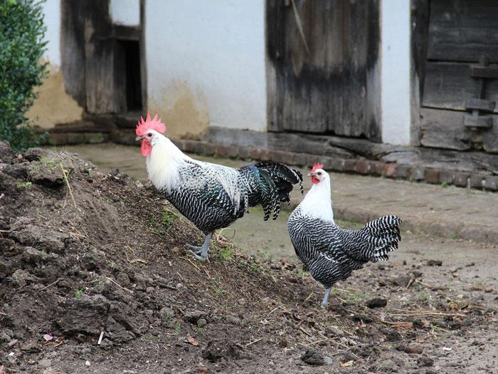 Brakel Hahn und Henne im Freilauf
