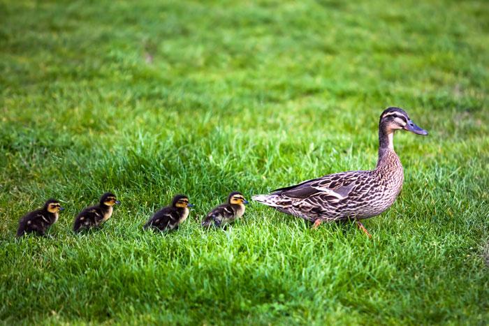 Entenmutter mit vier Jungtieren in der Wiese