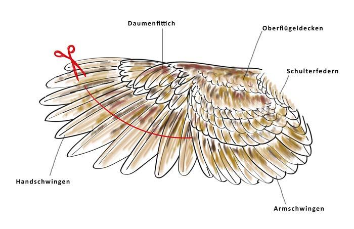 beschrifteter Hühnerflügel mit Anleitung zum Flügelstutzen