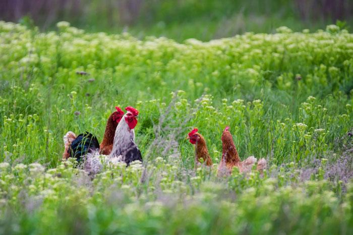 Hahn und Hennen bei der Haltung im Freien auf einer grünen Wiese