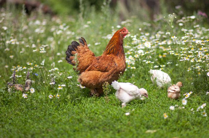 braune Henne mit drei Küken bei einer Hühnerhaltung im Freilauf auf einer Blumenwiese