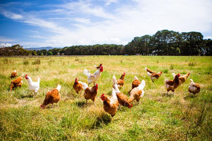 Hühner im Freien auf einem sonnigen Feld