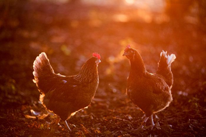 zwei Hühner im Herbst im Freien
