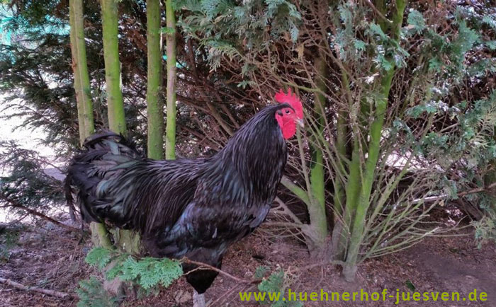 schwarzer Jersey Giant Hahn im Freilauf