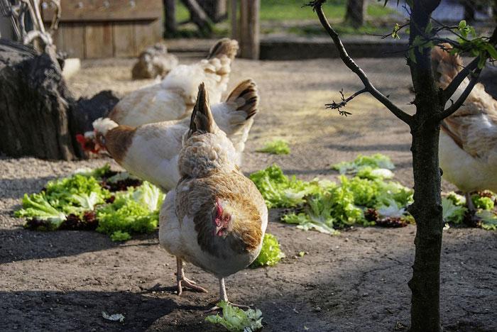 Sulmtaler Hennen im Freilauf