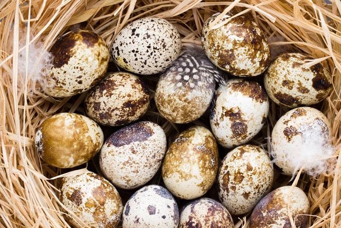 Eier von Wachteln in einem Nest liegend