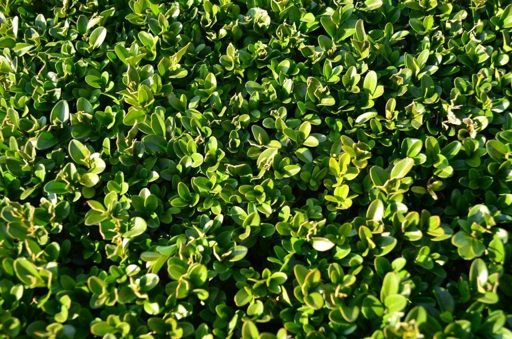 Giftpflanze Buchsbaum
