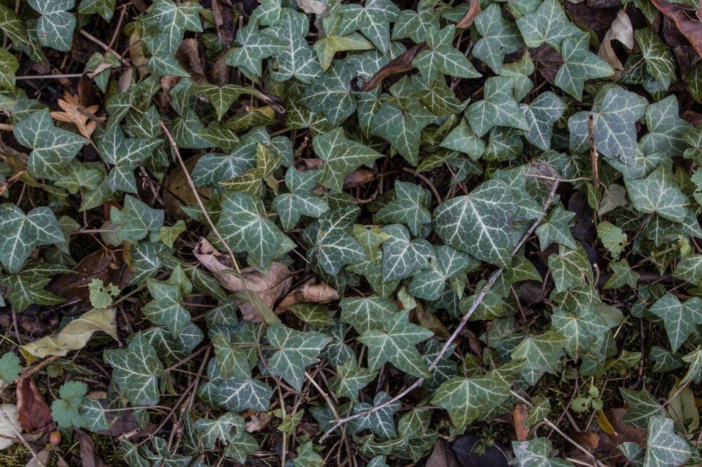 Giftpflanze Efeu