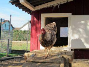 Huhn beim Auslauf aus dem Hühnerstall in den Auslauf