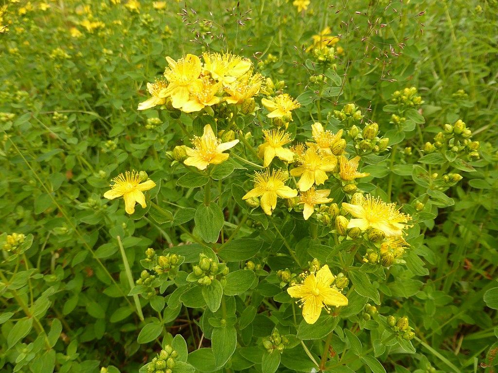 Giftpflanze Johanniskraut