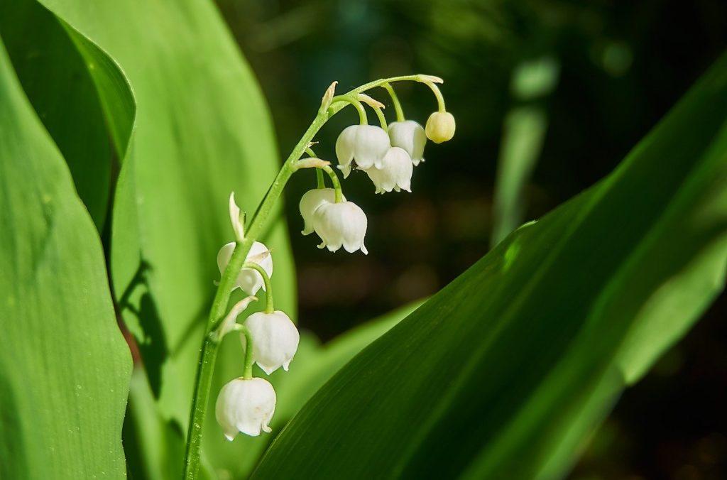 Giftpflanze Maiglöckchen